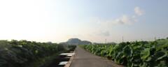 亀島山とレンコン田