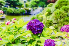 紫陽花と噴水と