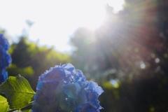 紫陽花と光