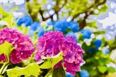 レッドブルー紫陽花