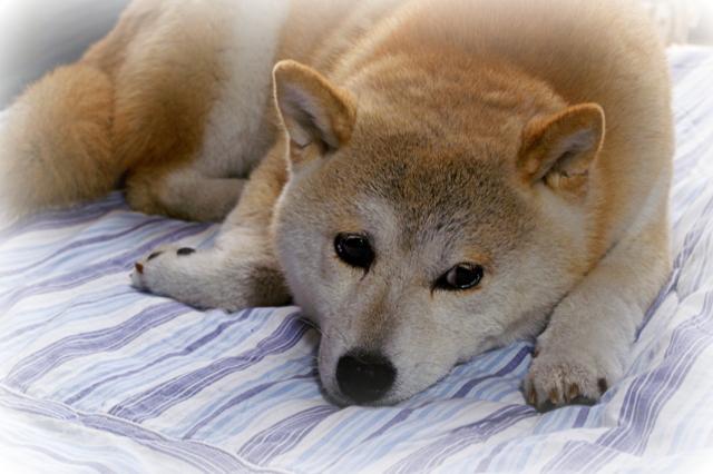 ミックス(犬)