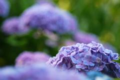 この時期定番・・・紫陽花