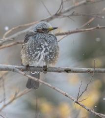 真冬のヒヨドリ