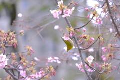 河津桜と十月桜