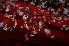 山桜が好きなんです(^.^)
