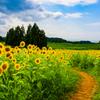 雨上がりの向日葵畑