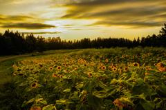 黄昏の向日葵畑