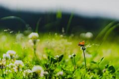 シロツメクサと蝶