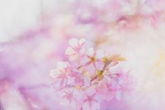 春     河津桜②