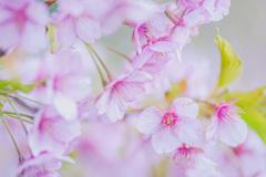 春   河津桜③