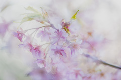 春  河津桜