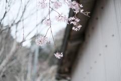 再见 今年的樱花