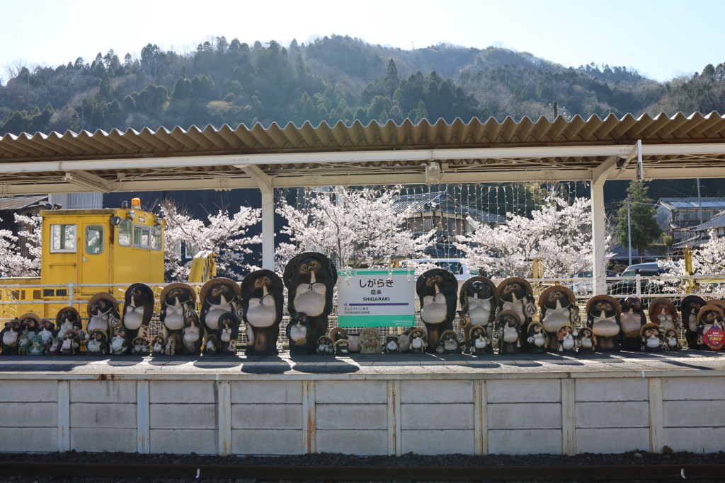 信楽駅とたぬきと桜
