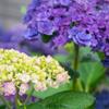 若い紫陽花