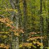 橅林の秋2