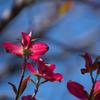 花水木 赤