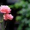 中庭の薔薇