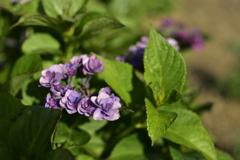 街角花壇・紫陽花