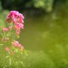休園後の薔薇園1