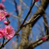 ハナモモ開花
