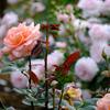 西洋庭園の薔薇3