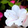 家の庭に咲いているツツジ