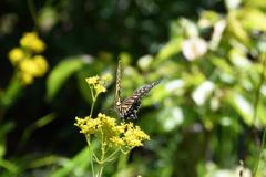 蝶とオミナエシ