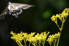 オミナエシから飛び立つ蝶