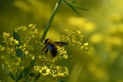 オミナエシと蜜蜂