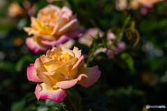 バラが咲いた②