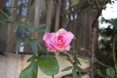 散歩道のバラ
