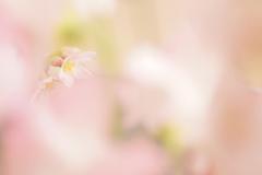 ふんわり桜色
