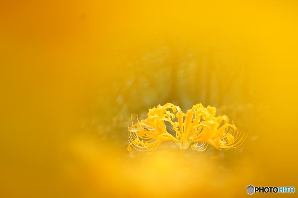 黄色い彼岸花~ショウキズイセン~