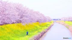 桜を撮る人