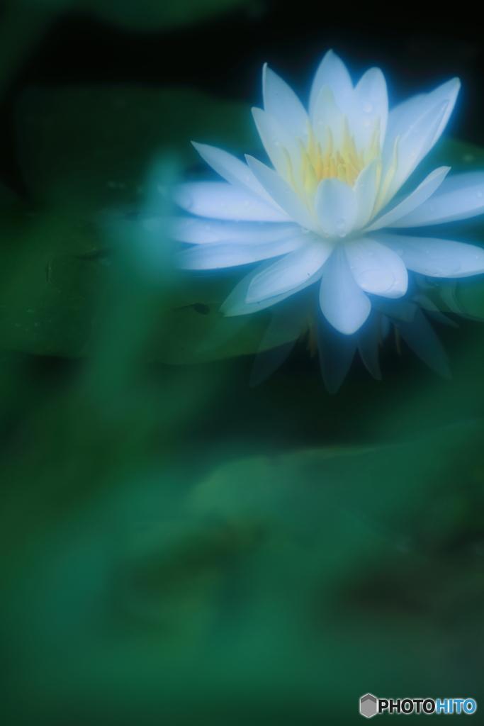 白い睡蓮の花 ~夏の夜の吐息~
