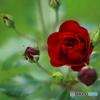 薔薇の秘密 1