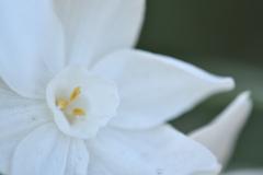 paper white narcissus