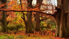 落羽松の秋