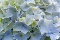 紫陽花と昆虫 2
