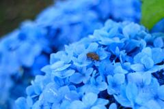 紫陽花と昆虫 3