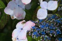 紫陽花と昆虫