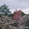 名古屋城 桜散策3
