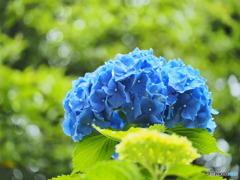 雨上がりの紫陽花④