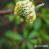 春の庭園2 ~ 大輪ミツマタ
