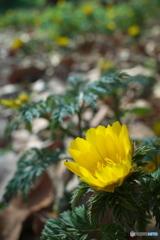 福寿草 ~ 春の光