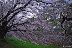 名古屋城 桜散策4