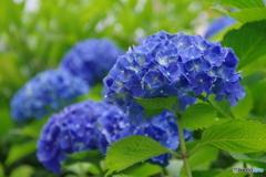 雨上がりの紫陽花②