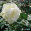 鶴舞公園の薔薇⑧