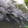 名古屋城 桜散策1