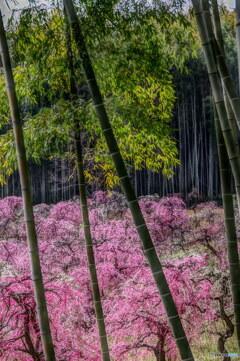枝垂れ梅2 ~ 竹林からの光景